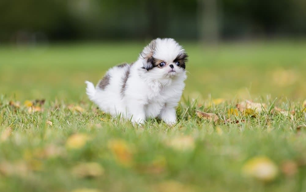 puppy Japanese chin in a Park
