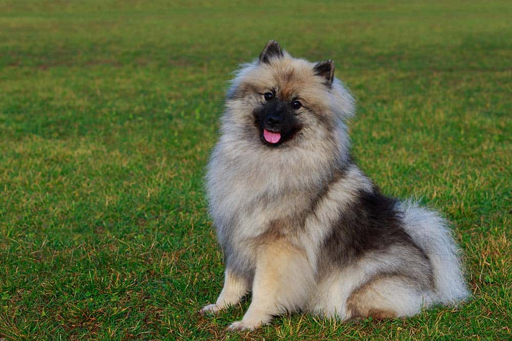 A Keeshond sitting in the grass.