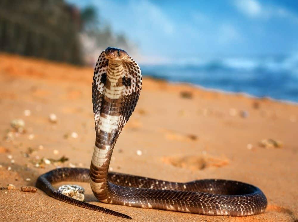 Live King cobra on the beach sand