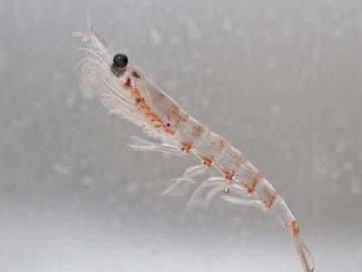 A Krill