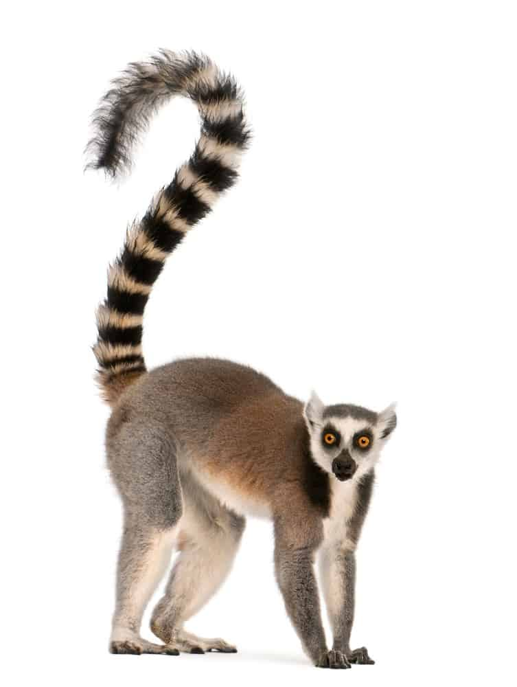 Lemur isolated on white background