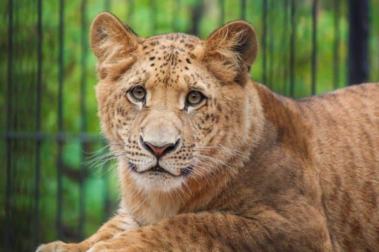 liger (Panthera leo × Panthera tigris) - liger cub