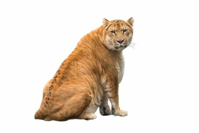 liger (Panthera leo × Panthera tigris)