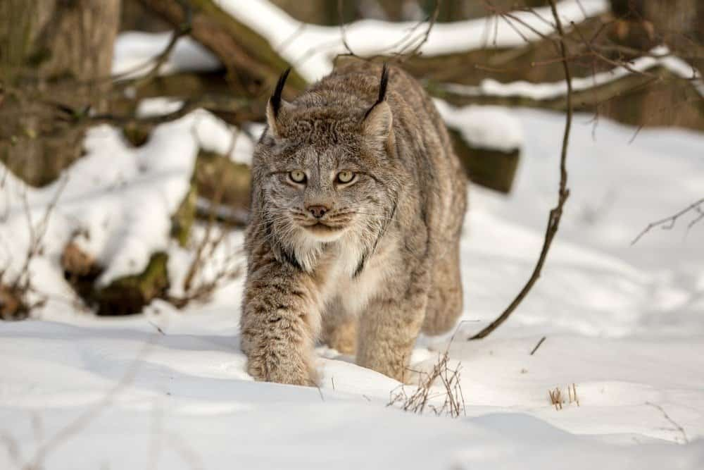 Canada lynx walking in deep snow cover in the woods on a sunny day. Lynx canadensis in the wild nature of Alaska winter. Canadian Lynx on the background of branch and tree trunk