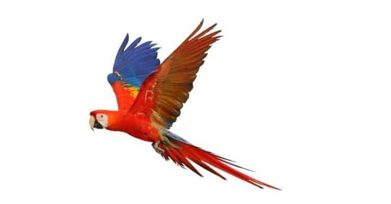 macaw bird in flight