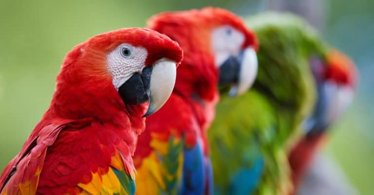 Row of macaw parrots