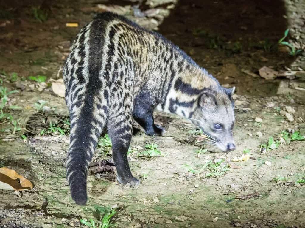 Malayan Civet Feeding at Kinabatangan Jungle Camp