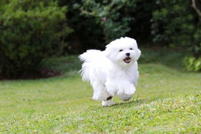 Maltese Dog running on green grass and plants background