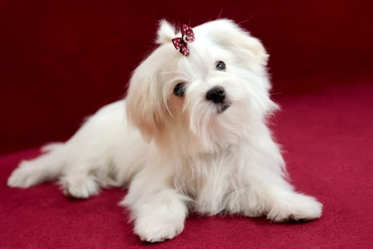 Portrait of a cute white long-haired Maltese girl on a red background. The puppy is 4 month old on the picture.
