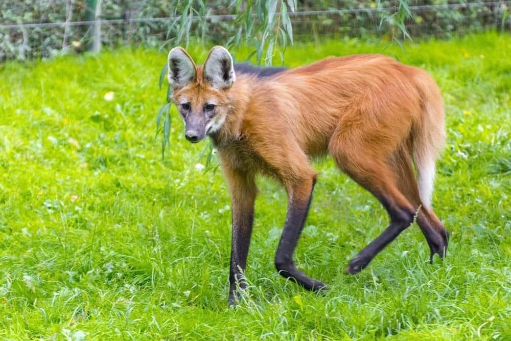 Maned wolf (Chrysocyon brachyurus) walking in the grass