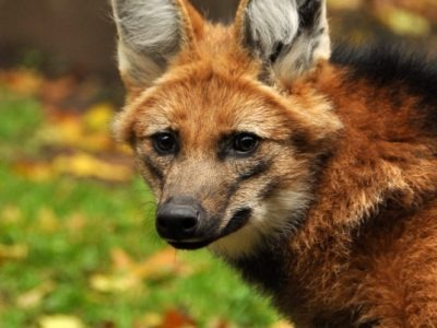 A Maned Wolf