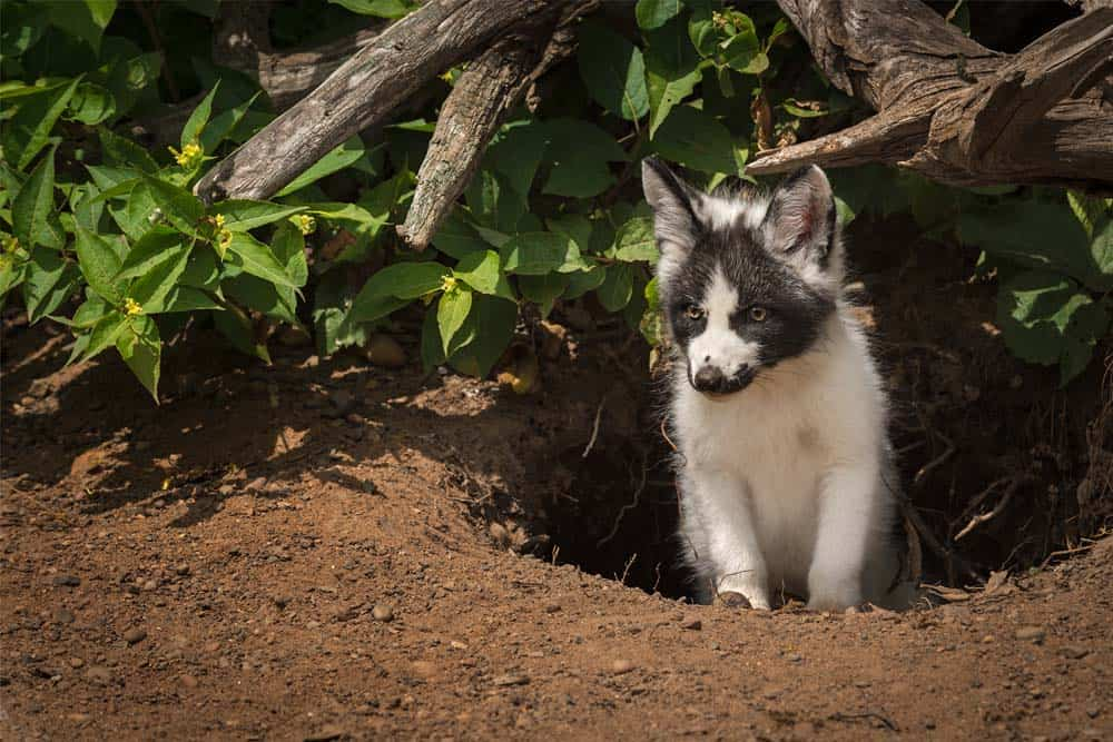 kit fox emerging from burrow