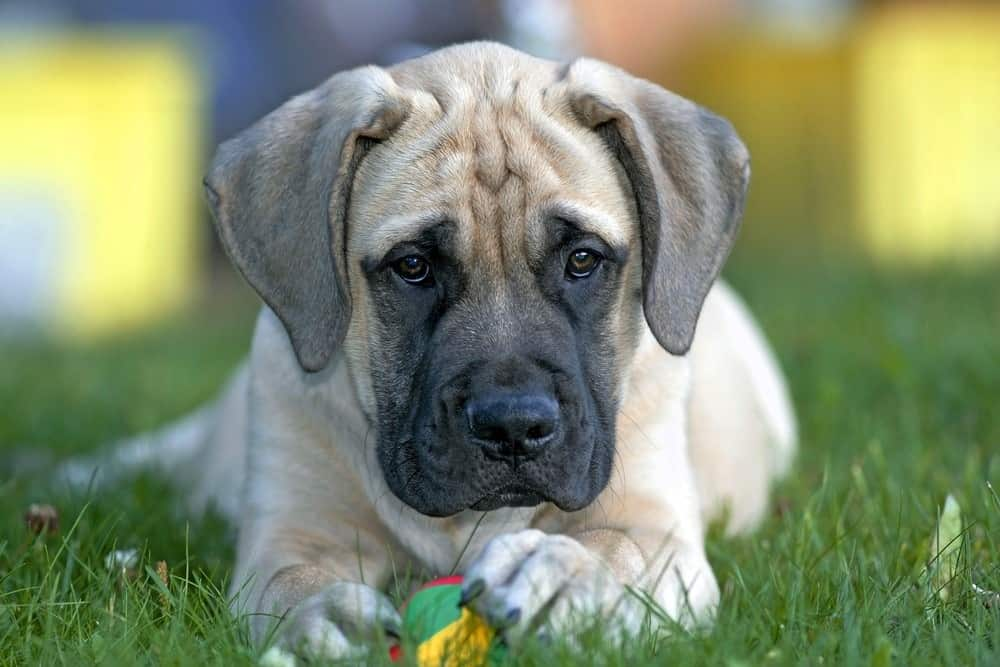 English Mastiff puppy few months old in grass with ball
