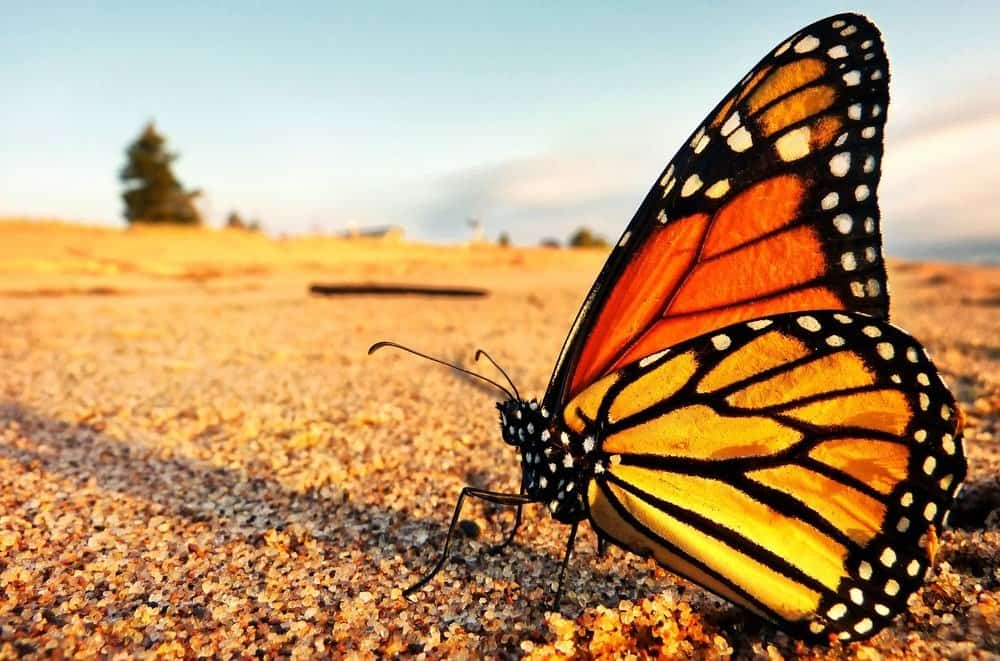A monarch butterfly takes a well deserved break on the shores of Lake Superior in Minnesota on its northward return to Canada from Mexico.