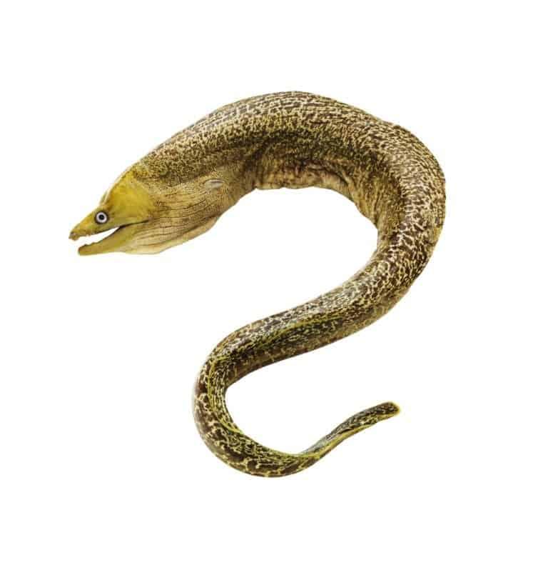 Moray eel isolated on white background