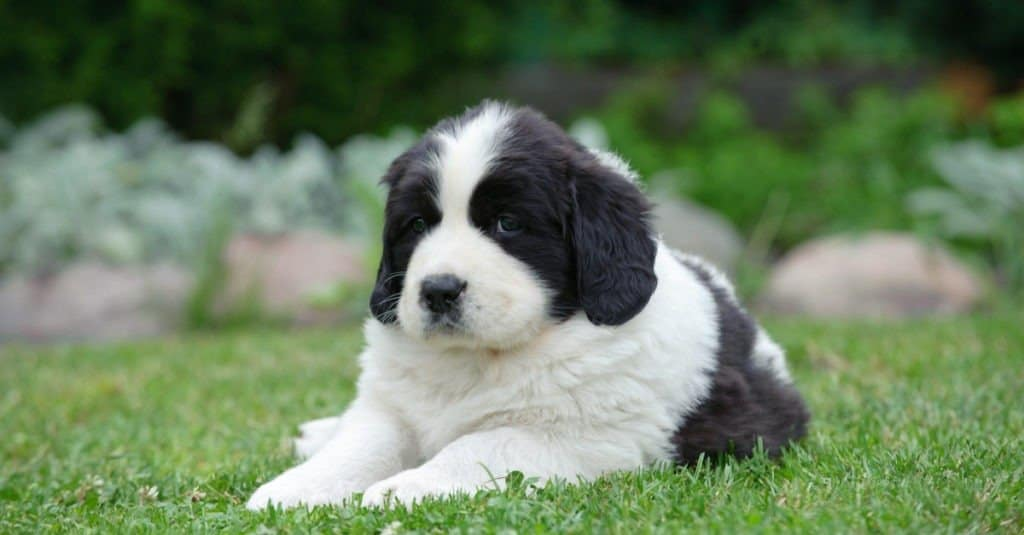 Black and white Newfoundland (Landseer) puppy