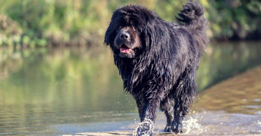 Black Newfoundland running in water