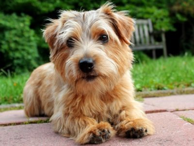 A Norfolk Terrier