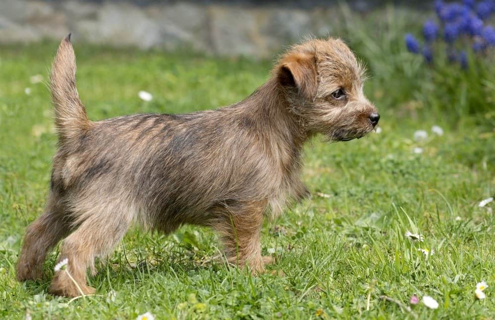 Puppy Norfolk Terrier standing in grass