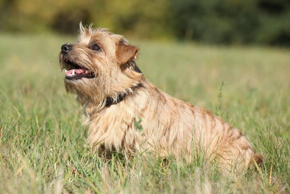 Norfolk Terrier sitting in grass