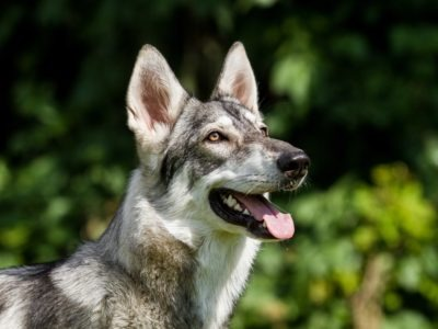 A Northern Inuit Dog