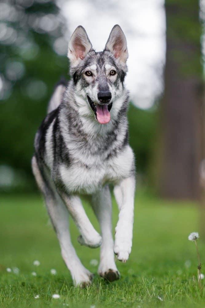 Northern Inuit dog running