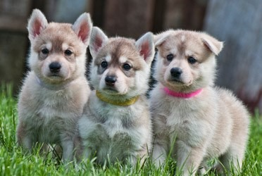 Northern Inuit dog puppies
