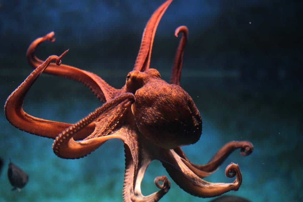 octopuses are one of the most intelligent animals in the ocean