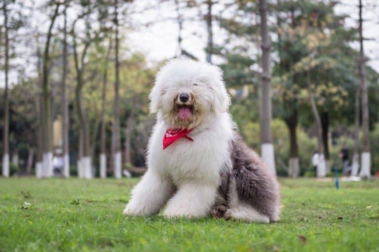 Old English Sheepdog with necktie