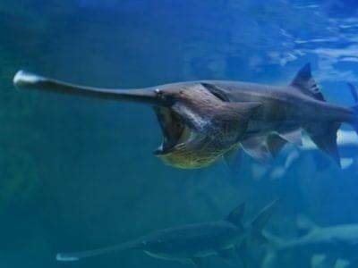 A Paddlefish
