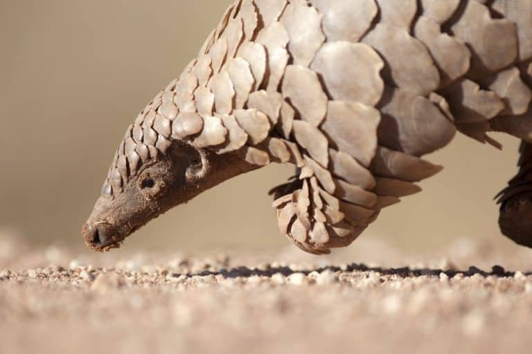Pangolin looking for ants to eat