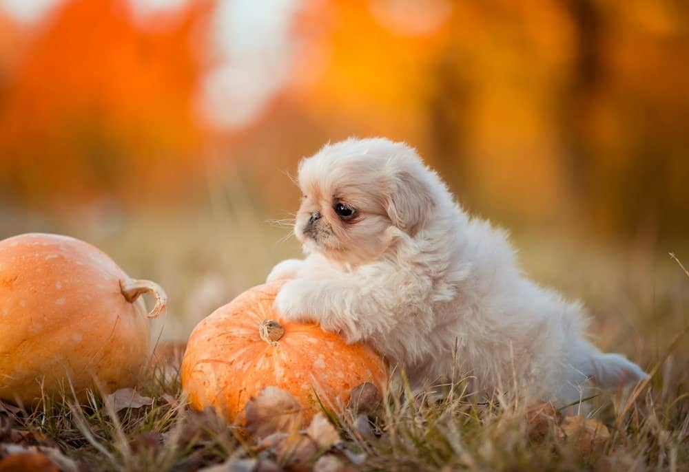 Pekingese little white puppy playing with pumpkin.