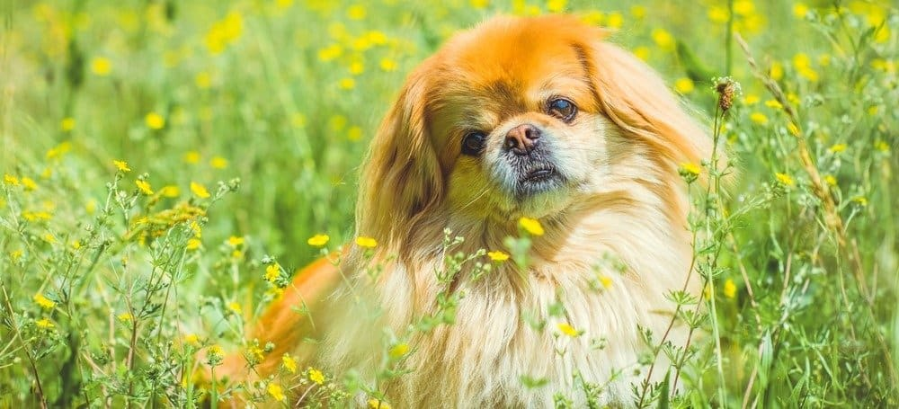 Cute and nice golden Pekingese dog in park playing