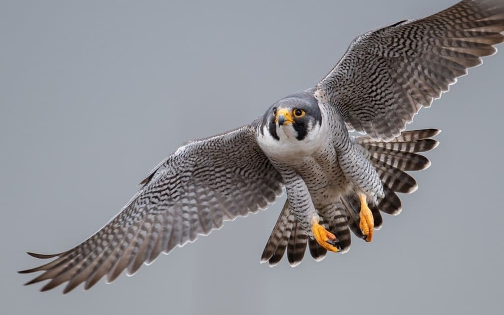 A Peregrine Falcon with spread wings flying