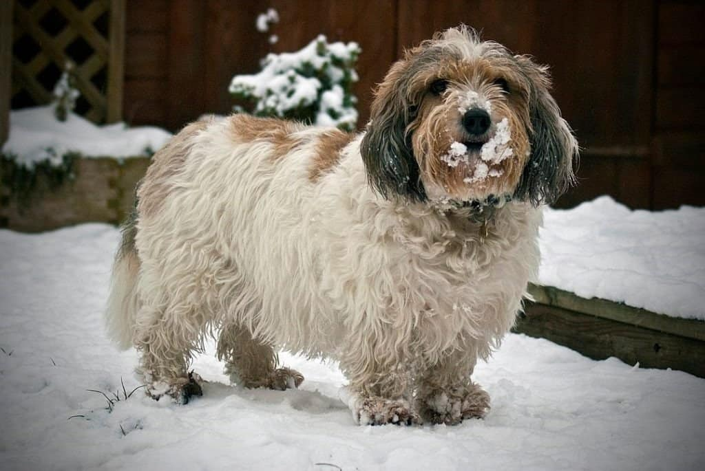Petit Basset Griffon Vendéen - fun in the snow