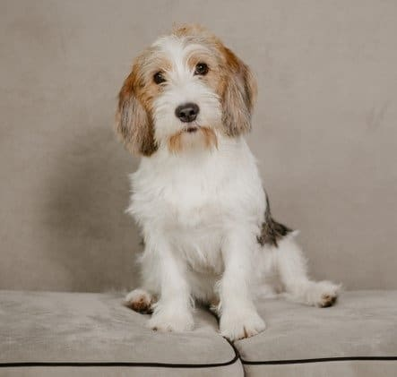An adorable puppy of Petit Basset Griffon Vendéen sitting on a sofa