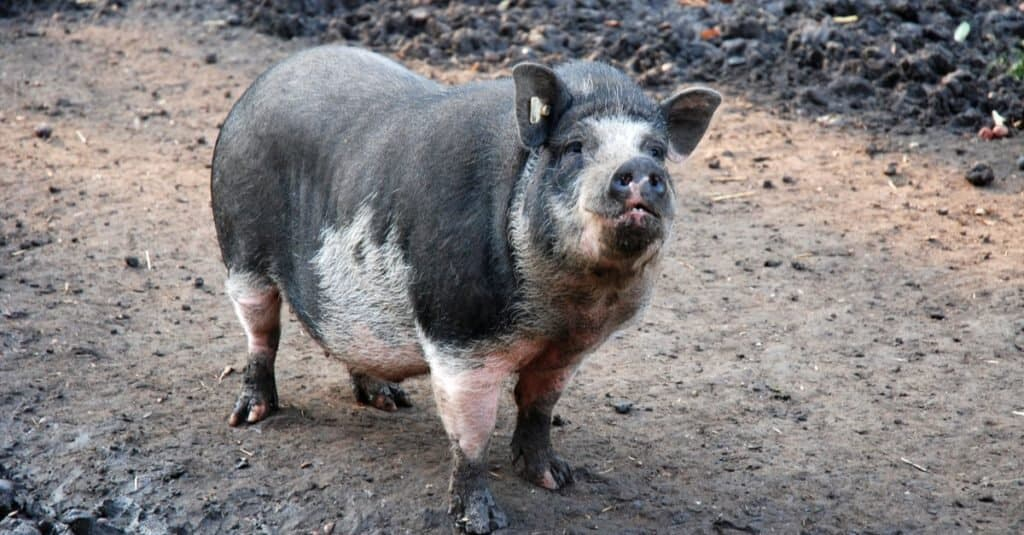 asia potbelly pig looking funny