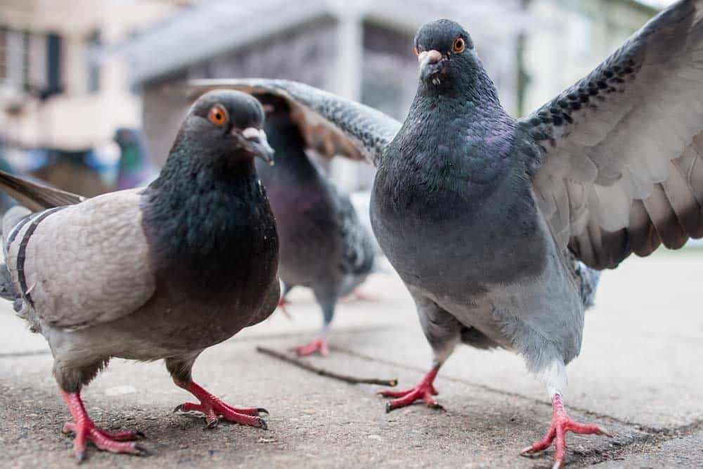 Pigeons have a lot more brains than most people think!