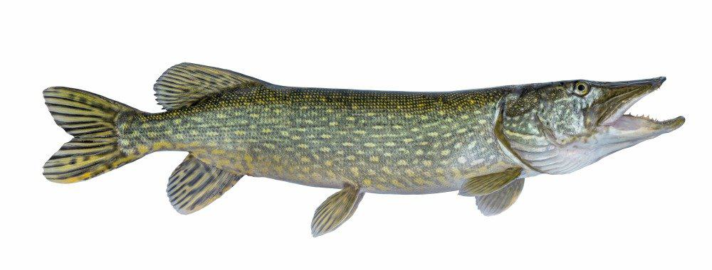 Pike fish isolated on white background