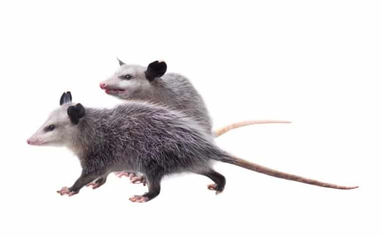 Two possums isolated on white background