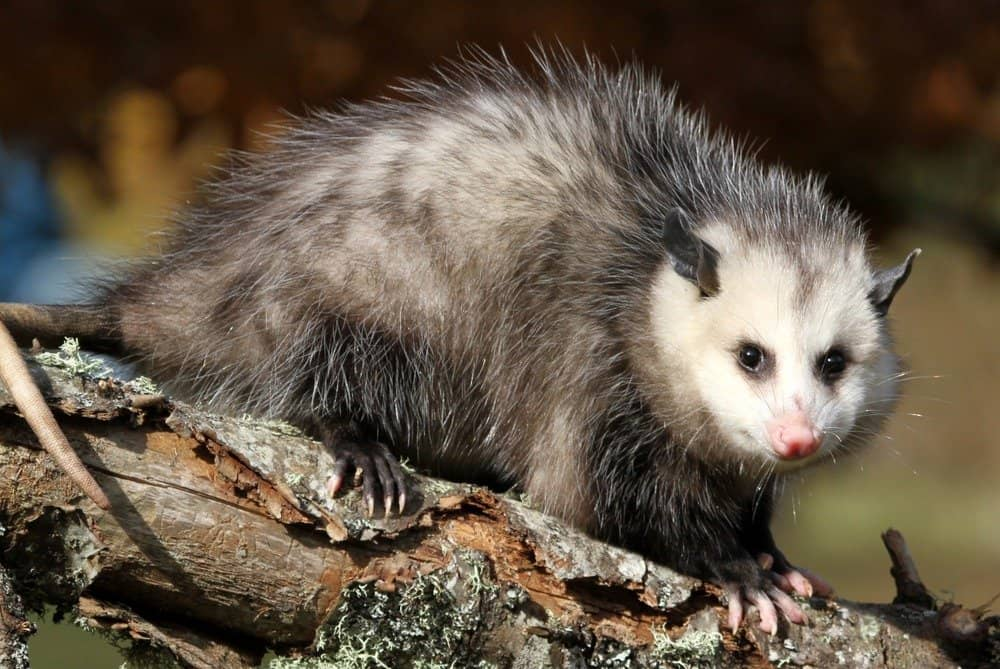 Possum on a branch