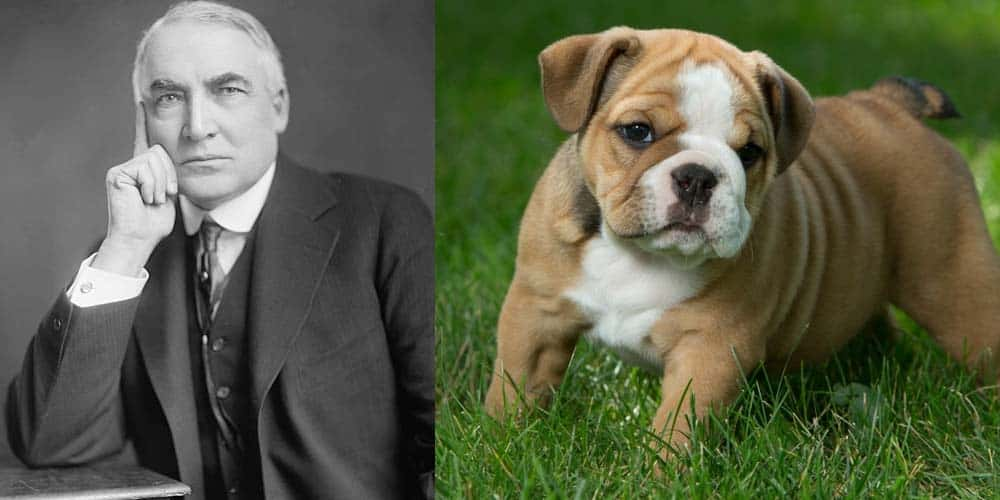 Picture of Warren Harding next to picture of Bulldog puppy