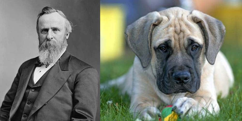 One of Rutherford B. Hayes canines was a Mastiff