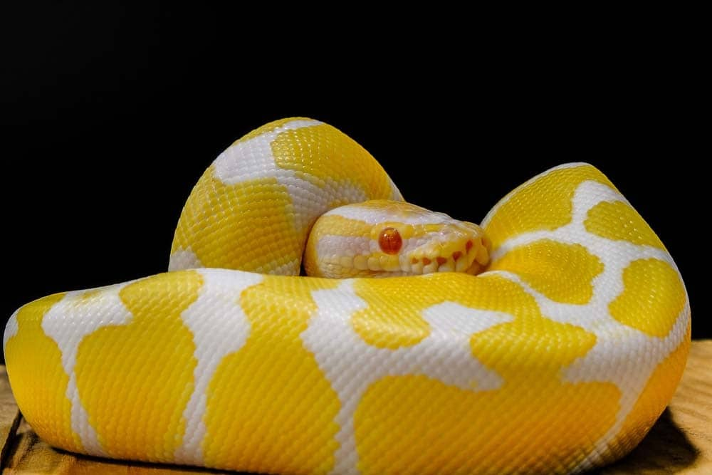 picture of a curled up python a very lazy animal