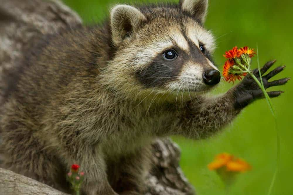 Raccoons are cuter and smarter than you may think!