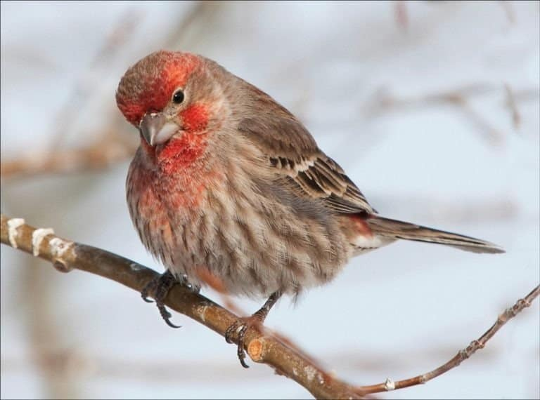 Male red finch sitting on a branch