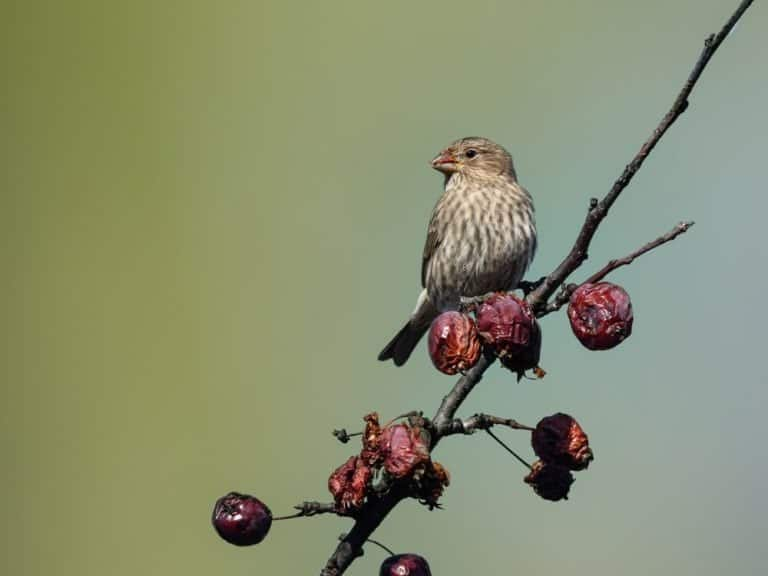 Female Red Finch Feeding on Red Berries
