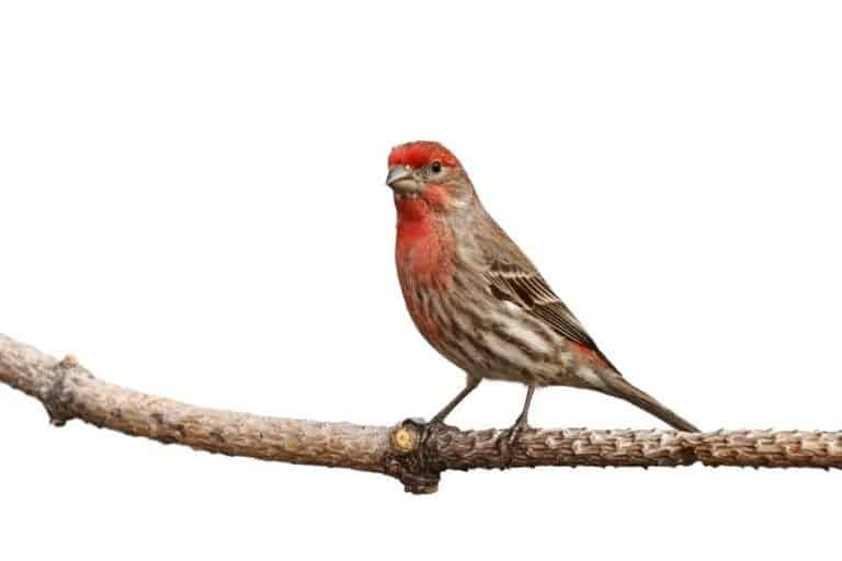 Male house finch proudly perched on a branch; white background