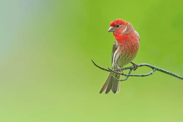 Red finch male perched on a branch