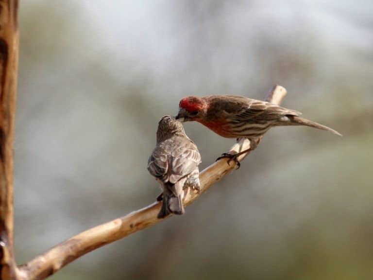 Male Red Finch Feeding baby